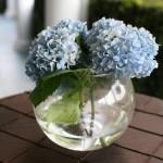 fishbowl blue hydrangea2